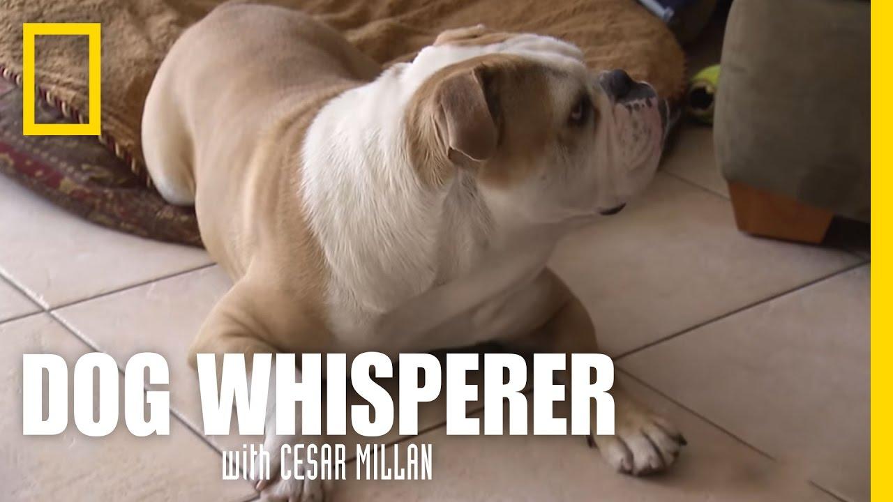 Brand New Bulldog | Dog Whisperer