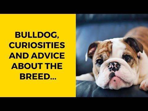 BULLDOG, Curiosities And Advice About The Breed