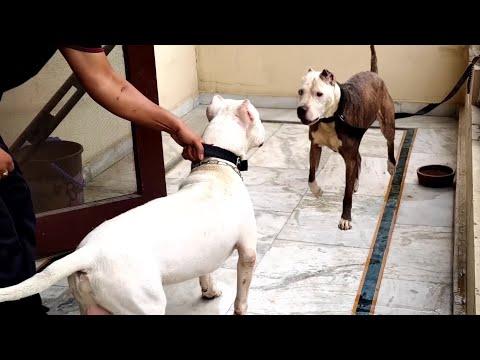 Pitbull VS Dogo Argentino Real Fight - Dogo Argentino VS Pitbull - Blondi Foks
