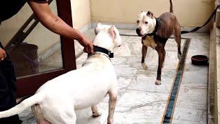 Pitbull VS Dogo Argentino  Dogo Argentino VS Pitbull  Blondi Foks