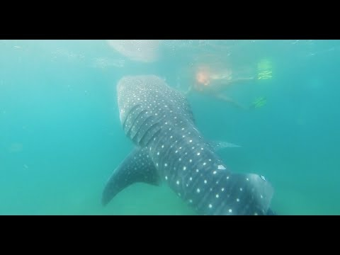 Swimming with Whale Sharks in La Paz, Mexico - GoPro Hero7 Black