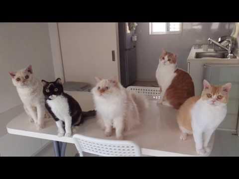 REX-BOX Selkirk Rex cats