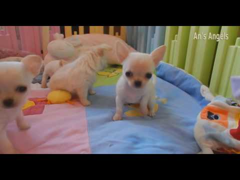 Chihuahua puppies of Queeny, Muffin and Grace - 28 nov.2016