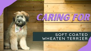 How to take care of Soft Coated Wheaten Terrier   Dog Instructor