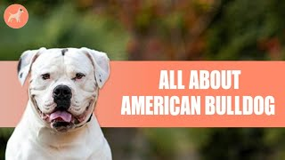American Bulldog: All You Need To Know