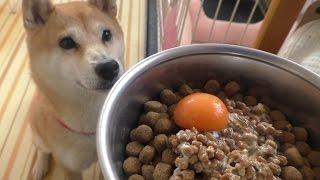 柴犬小春 朝からキレッキレ!【ASMR】納豆と生卵(卵黄)