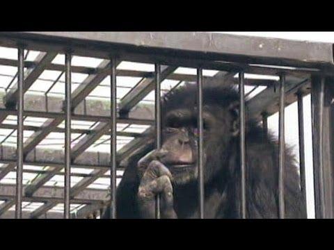 Las Vegas Chimp Escapes (Again)