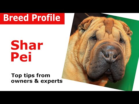 Shar Pei dog breed advice