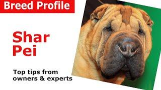 Shar Pei dog breed advice