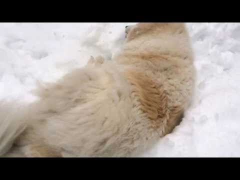 Great Pyrenees Pandora and Panda first time playing in the snow.