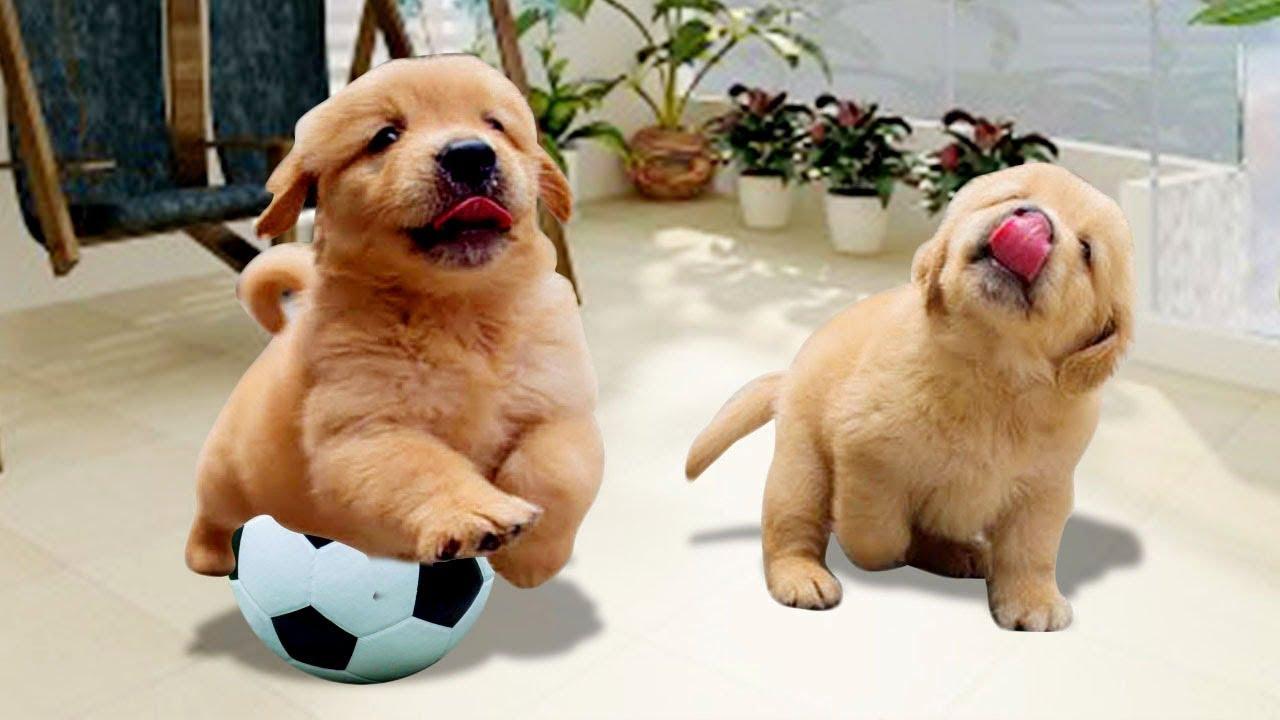 Cute Golden Retriever Puppy Doing Funny