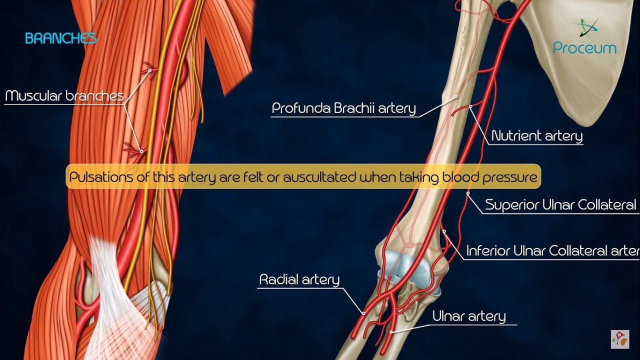 Anatomy Of Brachial Artery Branches And Relations Youtube