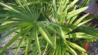 ДОМАШНЯЯ ВЕЕРНАЯ ПАЛЬМА. Как ухаживать за пальмой