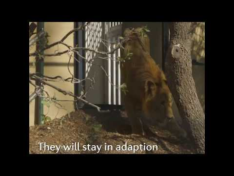 A new life for former zoo lions near Aleppo