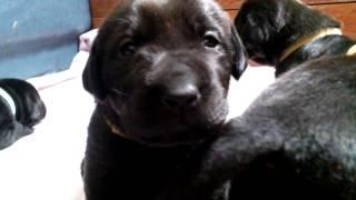 Cutest Puppy Ever (black Labrador)