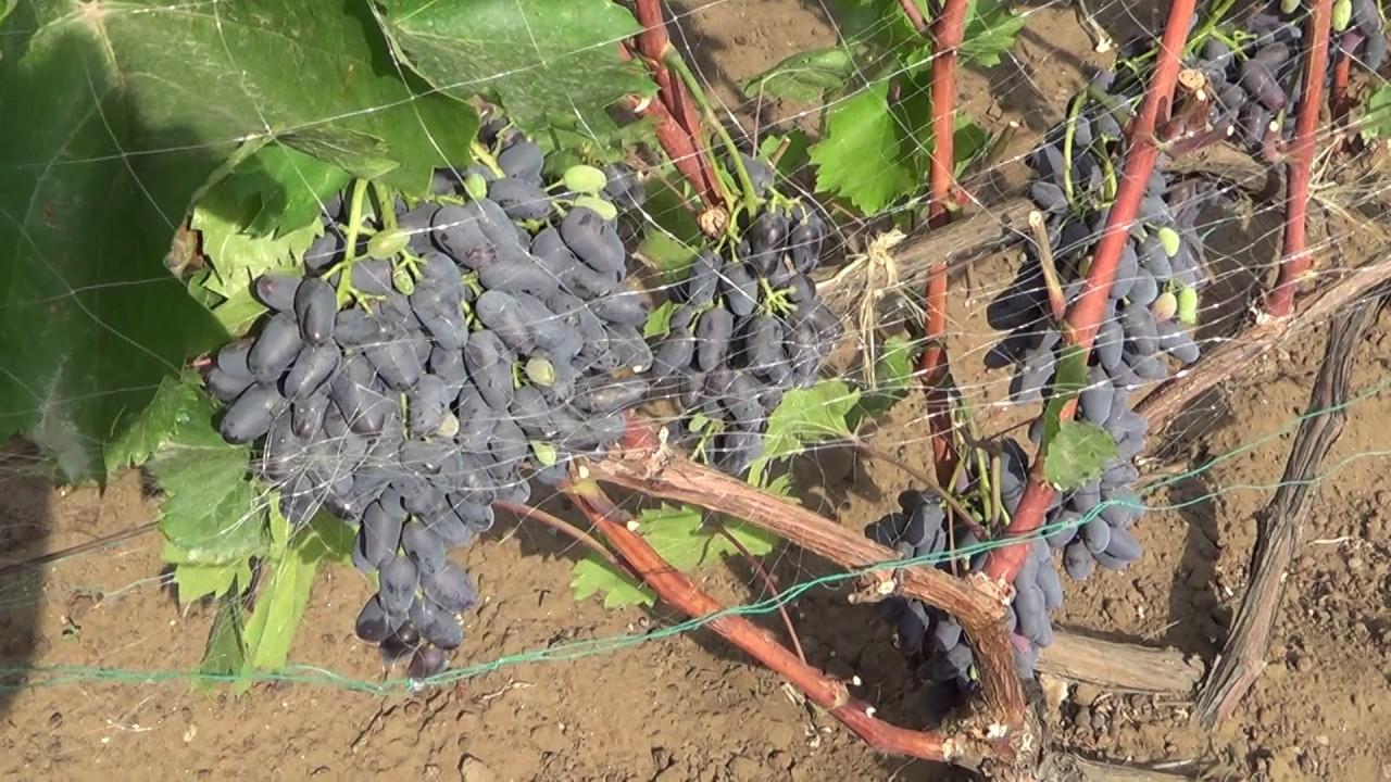 Виноград п негруля