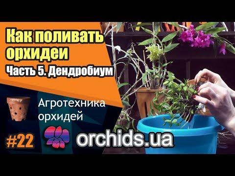 Как поливать орхидеи. Часть 5. Как поливать дендробиум (Dendrobium).