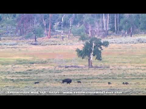 Yellowstone wolves Junction Butte pack 2017-08-19