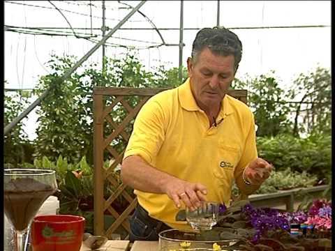 El Jardinero En Casa La Violeta Africana Youtube