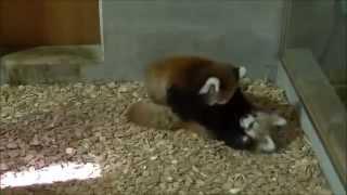 Детёныши малой панды (красной панды) резвятся