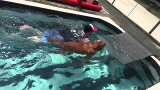 """swimming Pool"" Golden Retriever"
