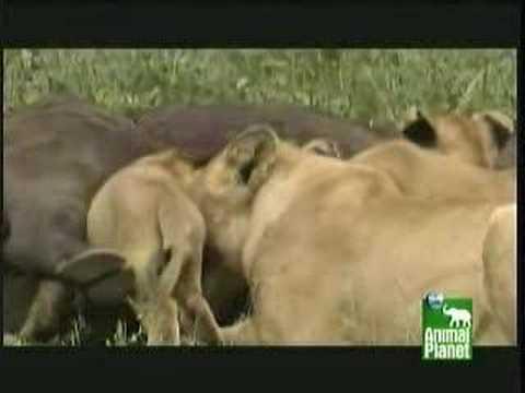 Lone male lion kills another buffalo