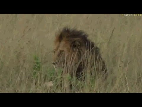 Safari Live : Brent in the Masai Mara on this afternoon's drive June 05, 2017