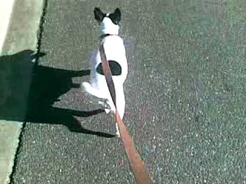 Patch on his walk