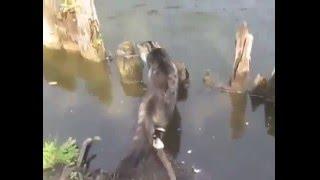 Прикольное видео   кот ловит рыбу  смешные кошки и котята