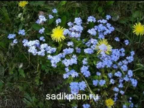 #Цветы незабудки, как размножать простым способом