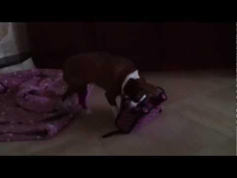 Pitbull beagle mix dog indiana jersey shore play time