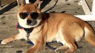 サングラスをかけてみたら気に入ってしまった柴犬