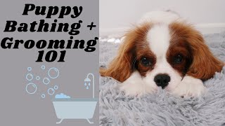 How to Bathe & Groom Your Puppy! | Cavalier King Charles Spaniel | Tips & Tricks