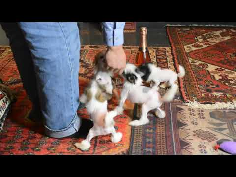 MythicKingdom Chinese Crested puppies at 9 weeks showing their energy levels