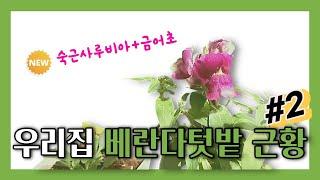 [베란다텃밭]  텃밭의 근황 (feat. 해바라기, 봉…