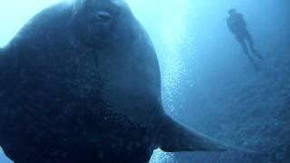 マンボウ 水中HD画質動画 Bali MimpangRocks DIVELITE