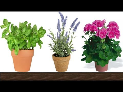 8 Plants That Repel Mosquitoes and Other Insects Naturally