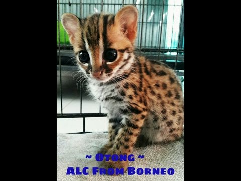 ALC From Borneo - Kitten Age 2 Months