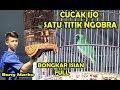 Piala Jkm Cup  Medan Gaya Tarung Mewah Satu Titik Cucak Ijo Kepala Kuning Milik Bang Marko  Mp3 - Mp4 Download
