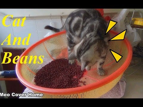 My Cat So Excite About Beans | Funny Cat Vines 2017 | Meo Cover Home