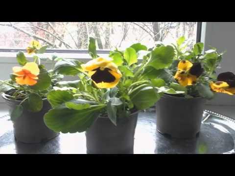 ❤🏡Эксперимент.Анютины глазки (Виола) Размножение черенкованием/ Цветы