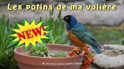 Potins de volière - Mon Choucador Superbe
