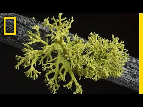 What's in a Lichen? How Scientists Got It Wrong for 150 Years | Short Film Showcase