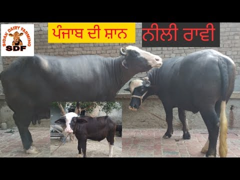 Repeat Nilli Ravi & Murrah calf female's (Sale