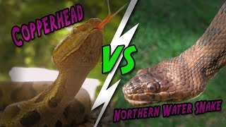 Catching Creation -- Copperhead vs Water snake