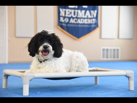 Bruno (Portuguese Water Dog) Boot Camp Dog Training Video Demonstration