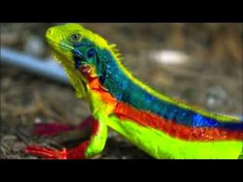 rainbow lizard 1 youtube