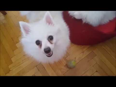 German Spitz: Mommy doesn't want to play with me....