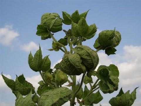 Cotton leaf curl,कपास पत्ता मरोड़