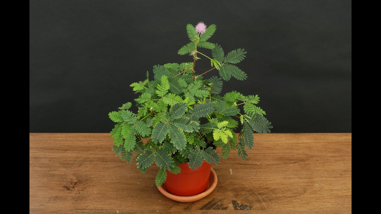 Growing The Sensitive Plant Mimosa Pudica Youtube